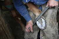 "Farrier Todd Graham from Chehalis, Wash., trims the foot of See My Magic, a 13 year old Tennessee Walking Horse in Roy, Wash. prior to putting on his horse shoes.  Graham, who has been a horseshoer for 20 years, says its like trimming fingernails. He is the only farrier currently in Western Washington who will put show shoes on horses. ""There's not very many of those around anymore,"" he says of the performance show riders. He says people got out of it because its expensive to keep these horses and many riders got sick of the regulations. (photo © Karen Ducey / Animal News Northwest)"