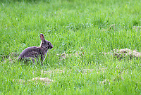Stock image of brown rabbit looking on standing in the middle of lush green grass in Tier park, Berlin.<br /> <br /> (For Editorial use only)