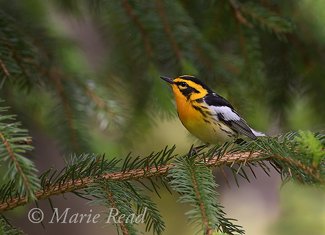 Blackburnian Warbler (Dendroica fusca) male, new York, USA<br />