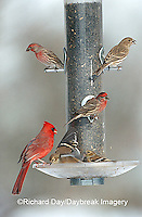 00585-026.09 Northern Cardinal (Cardinalis cardinalis) male, American Goldfinches (Carduelis tristis) & House Finches on sunflower tube feeder IL