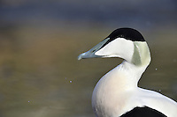Eider - Somateria mollissima - male. L 50-70cm. Bulky seaduck with distinctive profile: wedge-shaped bill forms continuous line with slope of forehead. Gregarious for most of year. In summer, female flocks supervise 'creche' of youngsters. Sexes are dissimilar. Adult male has mainly black underparts and white upperparts, except for black cap, lime green nape and pinkish flush on breast. In eclipse, plumage is brown and black, with some white feathers on back, and pale stripe above eye. Adult female is brown with darker barring. Juvenile is similar to adult female but with pale stripe above eye. Voice Male utters endearing, cooing ah-whooo. Status Almost exclusively coastal. Nests close to seashore and feeds in inshore waters, diving for prey such as mussels.