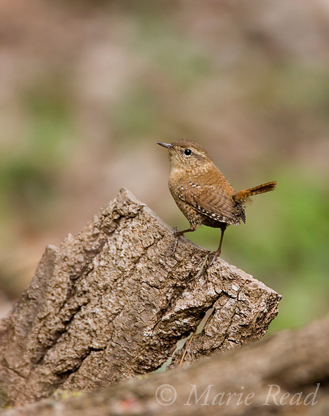 Winter Wren (Troglodytes troglodytes), Ithaca, New York, USA.