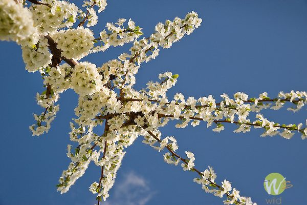 Apple trees in bloom