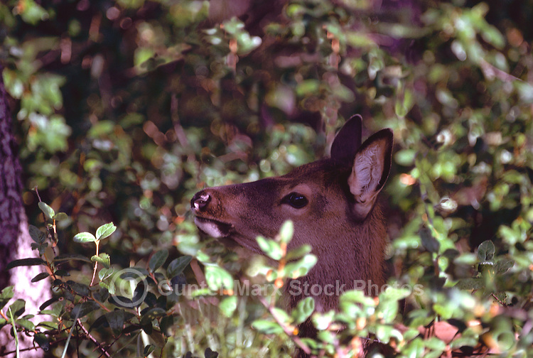 Banff National Park, Canadian Rockies, AB, Alberta, Canada - Elk Calf, Wapiti (Cervus canadensis) foraging in Forest