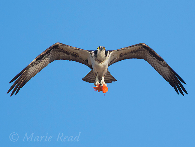 Osprey (Pandion haliaetus) in flight carrying orange fish, Lansing, New York, USA