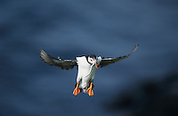 Atlantic Puffin, Fratercula arctica,adult in flight with sandeels in beak, Hornoya Nature Reserve, Vardo, Norway, June 2001