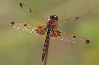 Calico Pennant (Celithemis elisa) Dragonfly - Male, Cranberry Lake Preserve, Westchester County, New York