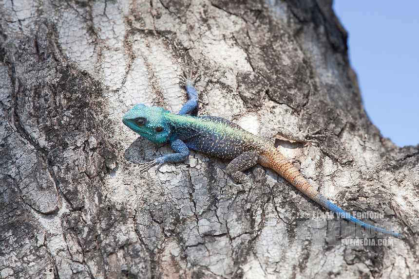 Blue Headed Lizard (Agamid Lizard)..Sunning on a tree...Hluhluwe Imfolozi Game Reserve..Kwazulu-Natal, South Africa..November 2010.