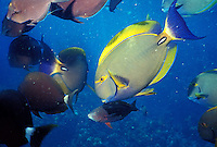 Underwater close-up of Eyestripe Surgeon fish and other reef fish on the Big Island of Hawaii.