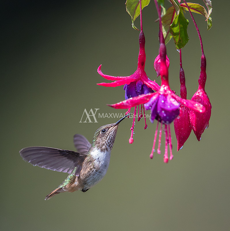 One of a number of species of hummingbird seen in Costa Rica's central highlands.