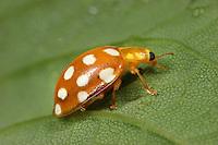 Orange Ladybird - Halyzia 16-guttata