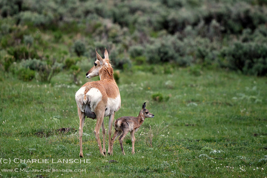 Mother and newborn pronghorn keep a close eye for danger in the Lamar Valley.