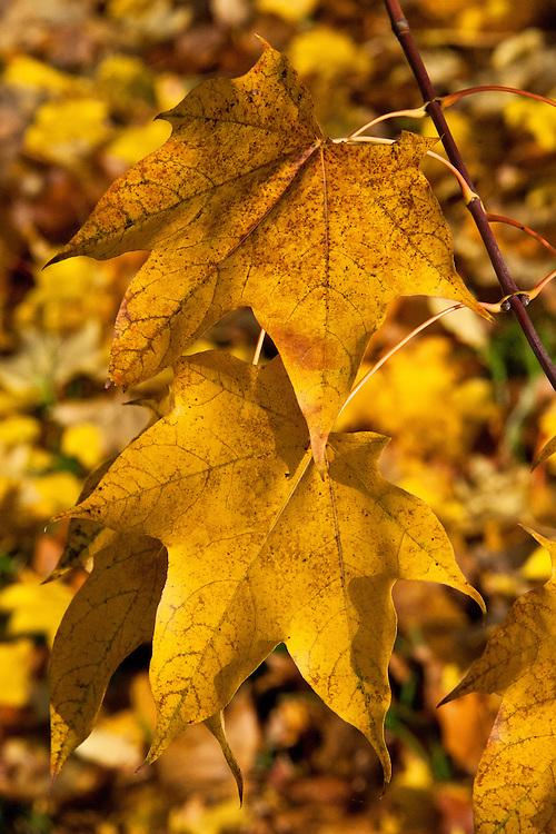 Autumn foliage of Cappadocian or Caucasian maple (Acer cappadocicum 'Rubrum'), early November.
