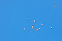A squadron of American white pelicans in flight directly overhead outside the Hayward Shoreline Interpretive Center.
