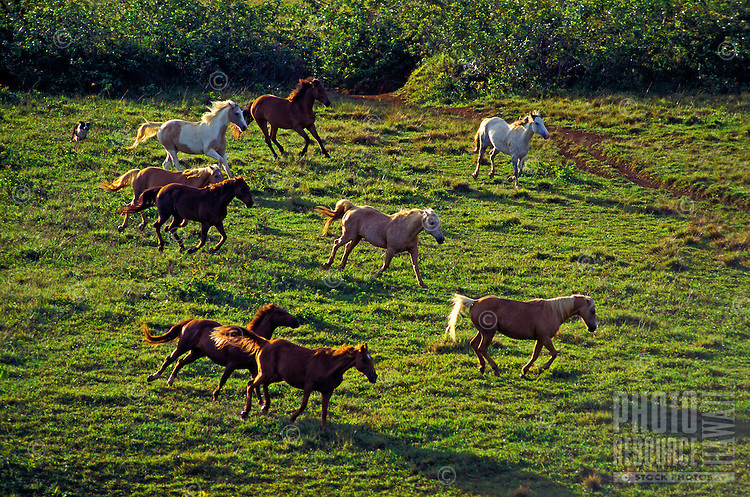 Horses running, Princeville stables, Kauai