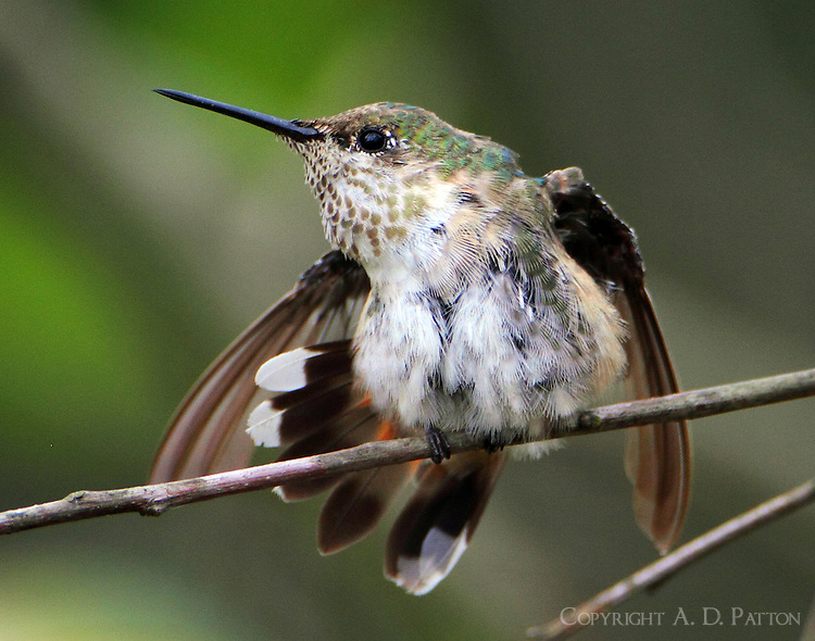 Adult female calliope hummingbird stretching