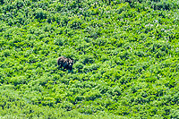 A Grizzly Bear feeds in a high alpine valley in northwest Wyoming.