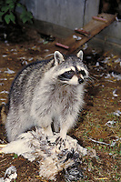 Raccoon eating chicken