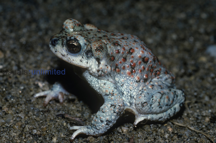 Red-spotted Toad (Bufo punctatus), Southwestern USA.