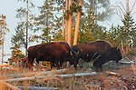 Bison at Sunrise, Madison Junction, Yellowstone National Park, Wyoming
