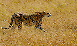 An African Cheetah (Acinonyx jubatus) on the Masai Mara National Reserve safari in southwestern Kenya.