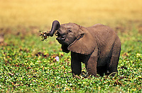 Young african elephant calf (Loxodonta africana) playing with plant.   Matusadona National Park, Zimbabwe.   I have read that it takes about a year for an elephant calf to learn how to use its trunk.