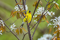 Male American Goldfinch (Spinus tristis) among <br /> serviceberry blossoms. Great Lakes Region.  May.