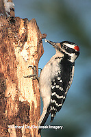 01210-009.09 Hairy Woodpecker (Picoides villosus) male eating suet at snag, Marion Co.   IL