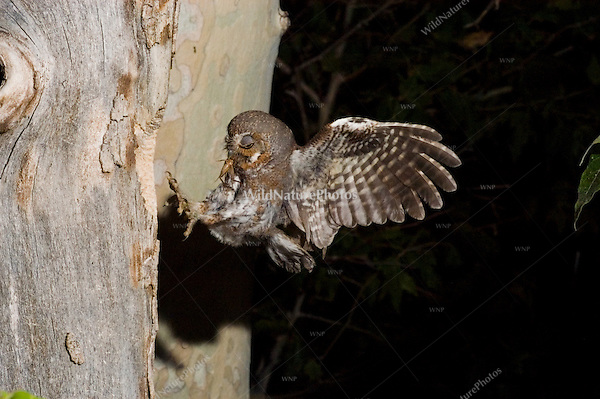 An Elf Owl, Micrathene whitneyi, hunting insects for nestlings; Sonoran Desert, Arizona