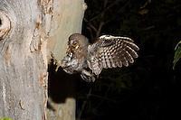 An Elf Owl, Micrathene whitneyi, hunting insects for nestlings; Sonoran Desert, Arizona