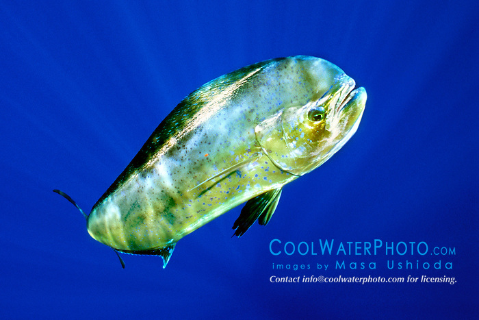 mahi mahi, dolphin fish, or dorado, .Coryphaena hippurus, cow, .Kona, Big Island, Hawaii (Pacific).