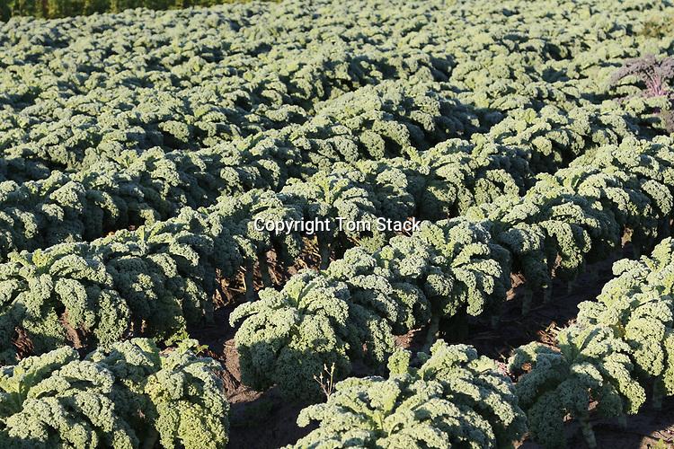 Kale growing in the field