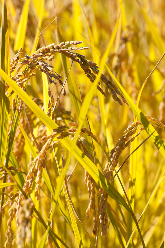 Rice ripening in an autumn field in Nagano, Japan.