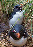 Rockhopper penguin pair, Falkland Islands