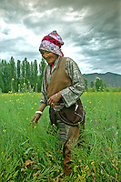 A Tibetan woman in traditional clothing walks through a field of rapeseed (also known as canola in the United States). Rape is a yellow flowering member of the mustard or cabbage family. Rapeseed is one of the leading sources of vegetable oil in the world..