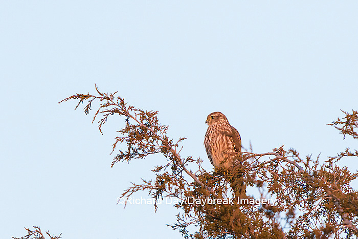 00813-00301 Merlin (Falco columbarius) Prairie Ridge State Natural Area, Marion Co. IL