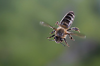 Honigbiene, Honig-Biene, Europäische Honigbiene, Westliche Honigbiene, Flug, fliegend, Biene, Bienen, Apis mellifera, Apis mellifica, honey bee, hive bee, western honey bee, European honey bee, bee, bees, flight, flying, L'abeille européenne, l'avette, la mouche à miel