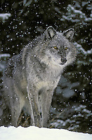 Gray Wolf (Canis lupus)..Winter. Rocky Mountains.