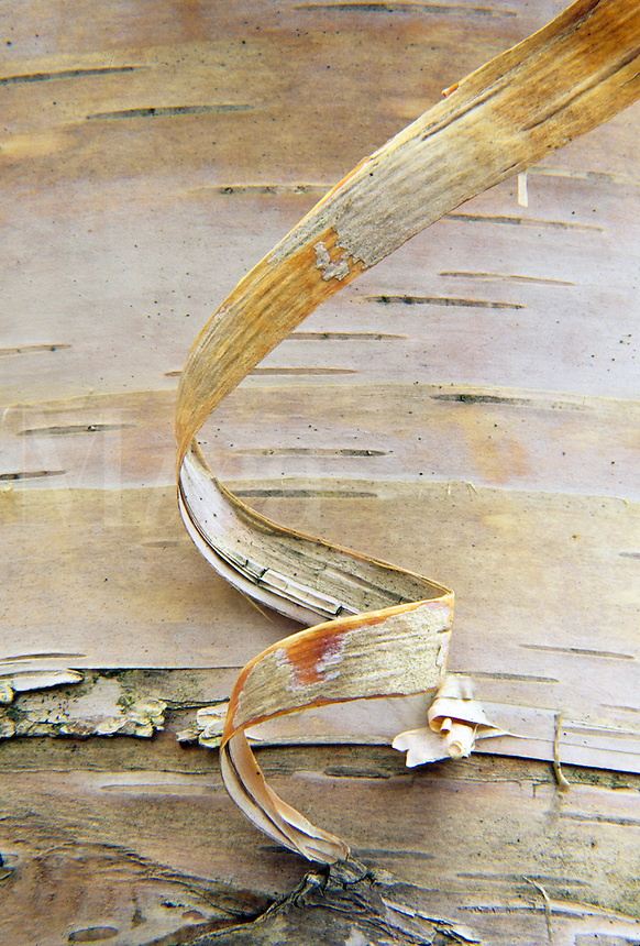 Close up detail of a curly piece of white birch bark