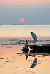 A Great Egret Watches the sunset in the gulf of Florida.