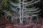 Red Maple, Acer rubrum, Black Moshannon State Park