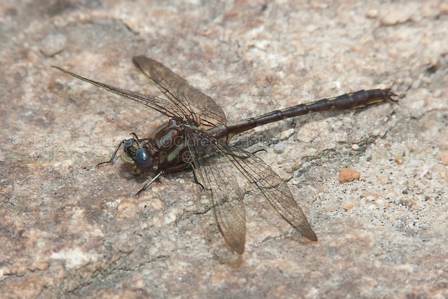 Ashy Clubtail (Gomphus lividus) - Male, Ward Pound Ridge Reservation, Cross River, Westchester County, New York