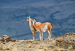 Guanaco, Andes, Chile