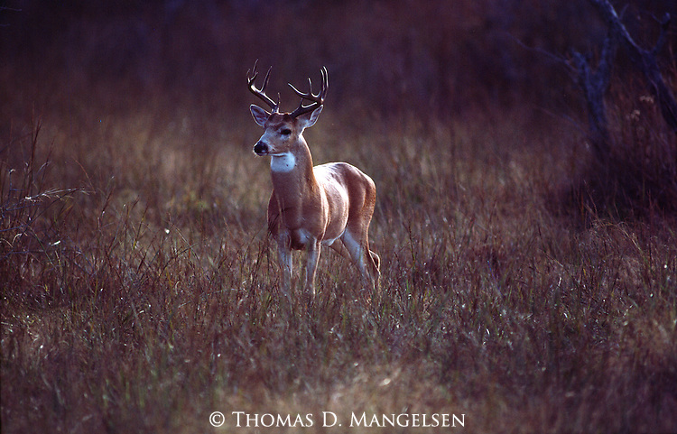 Portrait of a whitetail buck in autumn in Texas.