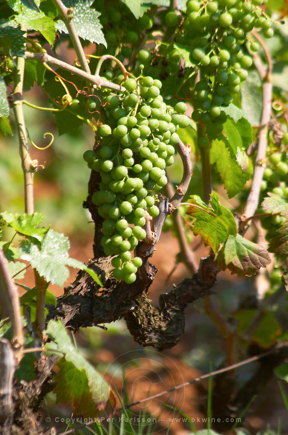 Old Vine with grape bunch. Zilavka local grape variety. Vita@I Vitaai Vitai Gangas Winery, Citluk, near Mostar. Federation Bosne i Hercegovine. Bosnia Herzegovina, Europe.
