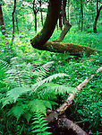 English woodland - Fern and twisted tree