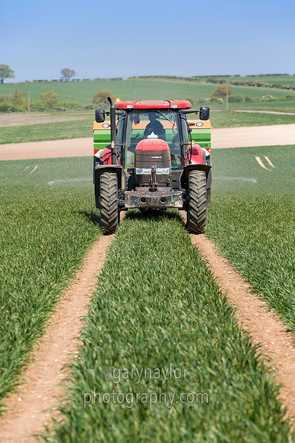 Spreading prilled nitrogen onto winter wheat - Norfolk, May