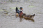 Wood Duck pair-drake and hen (male and female)