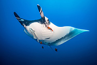 giant oceanic manta ray, Manta birostris, with remora, suckerfish, Remora sp., being cleaned by clarion angelfish, Holacanthus clarionensis, note scars left by remora, Socorro Island, Revillagigedo Islands, Mexico, Pacific Ocean