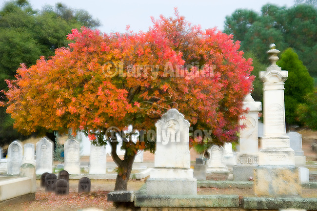 Crepe myrtle tree with red leaves adds color in the soft light of autumn at the historic cemetery on the hill in Ione, Calif.